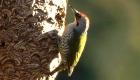 アオゲラ(留鳥) 生息期間:一年中