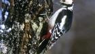 アカゲラ(留鳥) 生息期間:一年中