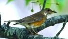 アカハラ(漂鳥) 生息期間:5月〜10月