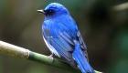 オオルリ(夏鳥) 生息期間:4月下旬〜9月下旬