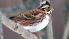 カシラダカ(冬鳥) 生息期間:10月下旬〜4月中旬