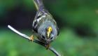 キクイタダキ(留鳥) 生息期間:一年中