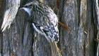 キバシリ(漂鳥) 生息期間:10月下旬〜4月