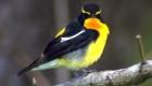 キビタキ(夏鳥) 生息期間:4月下旬〜10月中旬