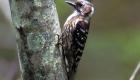 コゲラ(留鳥) 生息期間:一年中