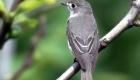 コサメビタキ(夏鳥) 生息期間:4月下旬〜9月下旬