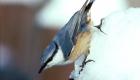 ゴジュウカラ(留鳥) 生息期間:一年中