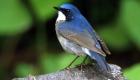 コルリ(夏鳥) 生息期間:4月下旬〜9月下旬