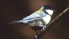 シジュウカラ(留鳥) 生息期間:一年中