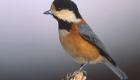 ヤマガラ(留鳥) 生息期間:一年中