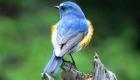 ルリビタキ(留鳥) 生息期間:一年中