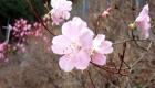 春:アカヤシオ