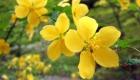 春:ヤマブキ